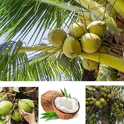 Kokosnuss-palmen (Tinement 5 stück Kokospalme Samen Mehrjährige Pflanzen Tropische Obstbäume für Garten Hof Pflanzen)