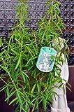 winterharte Orangenblume Choisya Aztec Pearl 30-40 cm hoch im 3 Liter Pflanzcontainer