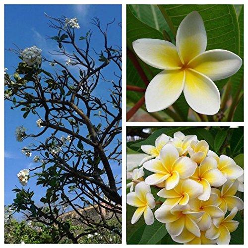 Ncient 20/50 semi sementi di plumeria rubra lei fresh semi di fiori rari pianta profumati per orto giardino balcone interni ed esterni