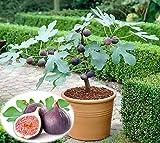 Anitra Perkins - exotischer Mini Feigenbaum Samen Frucht-Feige Feige 'Braun Türkei' Zwerg Feige Baum Bonsai Saatgut winterhart mehrjährig (50,Lila)