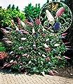 BALDUR-Garten Sommerflieder 'Papillion Tricolor' Buddleia, 1 Pflanze Buddleja davidii von Baldur-Garten auf Du und dein Garten