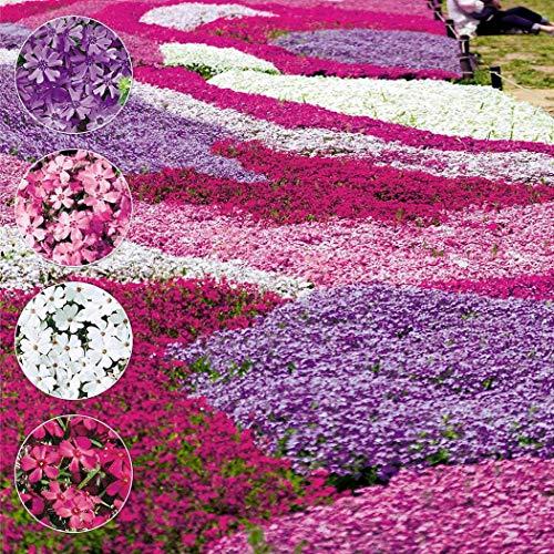inkeme giardino -flowers of the sea semi di fiori mescolare la copertura del suolo sempreverde ape amichevoli fiori bellissimi fiori estivi semi resistenti perenni per giardino balcone/terrazza