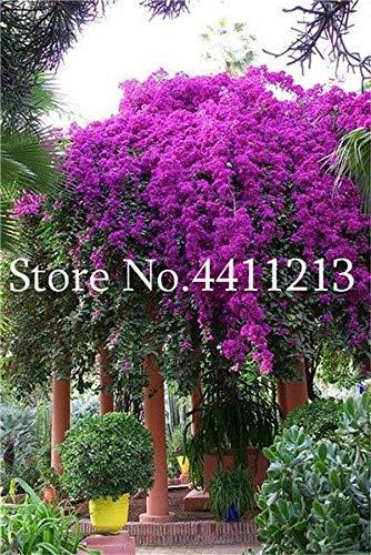 Pinkdose 100 stücke Bunte Bougainvillea Blume Balkon Blumentopf Garten Blumen In Bonsai Blühende Winterharte Zierpflanze Baum: 20
