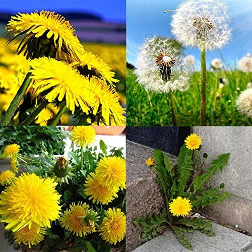 Qulista Samenhaus - 50pcs Löwenzahn Samen Blumensamen Taraxacum officinale Bio-Saatgut, geeignet für Terrase/Blumenbeet/Balkon/Garten