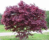 """Acero Rosso Giapponese""""Acer Palmatum Bloodgood"""" in vaso ø20 cm h.60/100 cm"""
