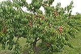 Dominik Blumen und Pflanzen, Pfirsichbaum