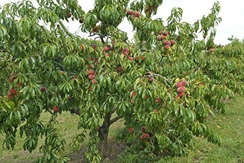 """Dominik Blumen und Pflanzen, Pfirsichbaum """"Roter Weinbergpfirsich"""", Busch, 1 Pflanze, je 1 Pflanze, 60 - 80 cm hoch, 5 - 7 Liter Topf, plus 1 Paar Handschuhe gratis"""