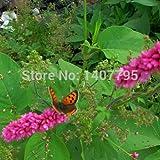 La medicina tradizionale Angelica semi di piante 100pcs, Famiglia Apiaceae Dong Quai d'erboristeria Semi, cinese Angelica femminile Ginseng Seeds G