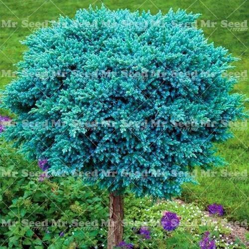 pinkdose 30pcs pianta esterna del bonsai del ginepro della pianta purifica l'aria assorba i gas nocivi la decorazione del giardino pianta molto facile da coltivare: 4