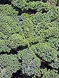 Grünkohl 'Lerchenzungen' (Brassica oleracea convar. acephala var. sabellica) 100 Samen Braunkohl Winterkohl Krauskohl Ostfriesische Palme