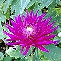 """Kaktusdahlie """" Purple Gem """" von Mosselman - Du und dein Garten"""