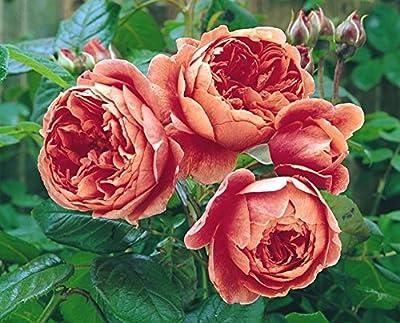 Englische Rose 'Summer Song' -R- im 4 L Container von Rosen-Union auf Du und dein Garten