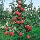 Dominik Blumen und Pflanzen, Apfel Roter Boskoop®, Busch, 1 Pflanze