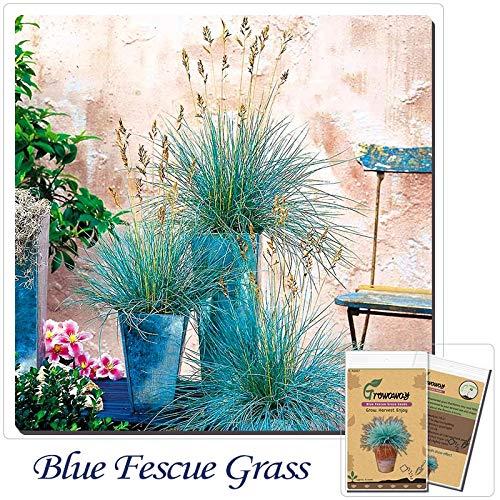 Go Garden Nuova casa della pianta di giardino 15 Bosnai Blu Festuca piante Fesnea Glauca Erba ornamentale in vaso blu: Festuca