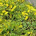 lichtnelke - Pfennigkraut ( Lysimachia nummularia ) von Lichtnelke Pflanzenversand - Du und dein Garten