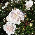 Variante Bodendeckerrosen von Garten Schlüter bei Du und dein Garten