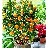 Bloom Green Co. ¡Auténtico!Bonsai de frutas Enano de pie Naranjo Flores planta de interior en maceta decoración de jardín pla