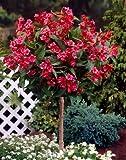 Weigelia Bristol Ruby® als Kugel-Stämmchen gezogen rot blühend. 1 Pflanze - zu dem Artikel bekommen Sie gratis ein Paar Handschuhe für die Gartenarbeit dazu