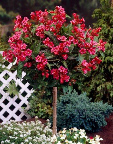 Weigelia Bristol Ruby® als Kugel-Stämmchen gezogen rot blühend. 1 Pflanze