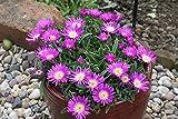 PinkdosePinkdose Blumensamen: Sukkulente Eispflanze Gartenhecke (18 Packete) Gartenpflanze Samen von