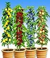 BALDUR-Garten Säulen-Obst-Kollektion Birne, Kirsche, Pflaume & Apfel, 4 Pflanzen von Baldur-Garten bei Du und dein Garten