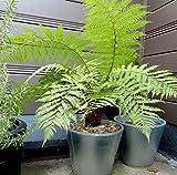 Baumfarn Dicksonia antarctica seltener Garten Baumfarn mit palmähnlicher Stammbildung (60-80 cm)