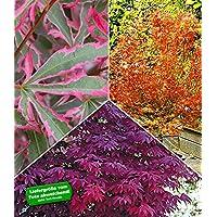 BALDUR-Garten Japanische Ahorn-Kollektion winterhart, 3 Pflanzen im Mix Acer palmatum