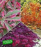 BALDUR-Garten Japanische Ahorn Kollektion winterhart, 3 Pflanzen im Mix Acer palmatum Ahornbaum winterhart