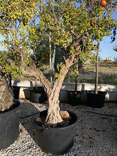 pianta piante di melograno melagrana dente di cavallo da frutto albero esemplare foto reale h 180 vivaiosantabernadetta