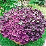 2 Red Oxalis Corymbosa ornamental del jardín de flor de Semillas Plantas