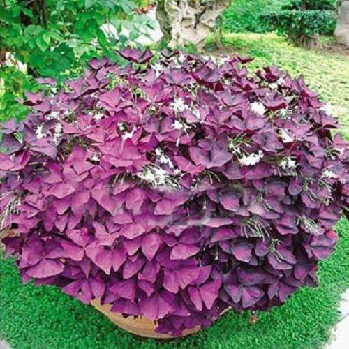 2-red-oxalis-corymbosa-ornamental-flower-seed-garden-plants
