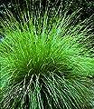 BALDUR-Garten Atlasschwingel, 3 Pflanzen Festuca von Baldur-Garten - Du und dein Garten
