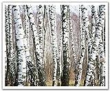JP London poslt2165ustrip Lite Abnehmbare Wand Aufkleber Aufkleber Wandbild Birke Wald Bäume schwarz und weiß, 24x 19.75-inch