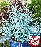 Cioler Seed House - Aromatic Blue eucalyptus 'Azura' graines d'arbres véritable eucalyptus graines de plantes de jardin rustique