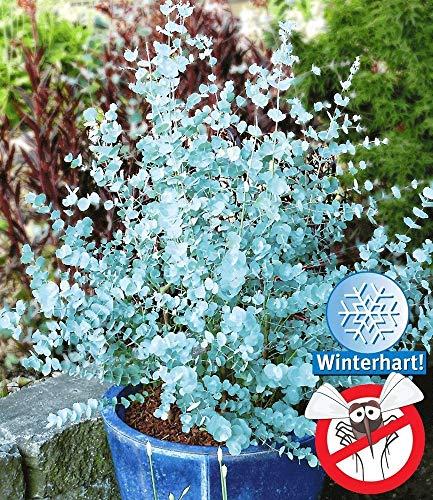 kisshes giardino - albero di eucalipto blu aromaticoazura semi di eucalipto reale semi di piante da giardino hardy perenni