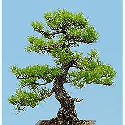 Japanische Schwarzkiefer 10 Samen, Bonsai Samen (Pinus thunbergii)