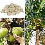 obiqngwi 20Pcs Semi di albero di cocco Spiaggia Juicy Delicious Fruitgiardino di casa pianta bonsai - Semi di cocco