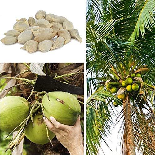 Saftige Kokos (Kokosnussbaum Samen, KimcHisxXv 20 St¨¹cke Samen Strand Saftige K?stliche Obstgarten Hof Bonsai Decor - Kokosnussbaum Samen)