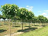 Kugel Trompetenbaum 'Nana' - Catalpa bignonioides Nana - Stammhöhe 150 cm - Stammumfang 8-10 cm - Containerware - Garten von Ehren®