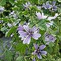 lichtnelke - Wilde Malve (Malva sylvestris 'Primley Blue') von Lichtnelke Pflanzenversand - Du und dein Garten