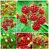 Adolenb Seeds House- Jardin Des Framboises Rouges 50pcs Des Plantes De Framboises'La Récolte Sans...