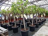 kompakter Feigenbaum 120 cm Obstbaum, winterhart, Ficus Carica, Feige, keine Jungpflanzen - kräftige Stämme - vergleichen Sie!