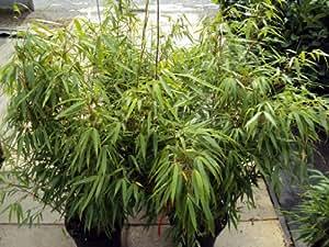 Bambus Rufa Containerpflanzen 120-140 cm