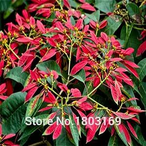 Euphorbia pulcherrima semi di Stella di Natale piante in vaso piante da fiore 100 pc // sacchetto stagioni di semina
