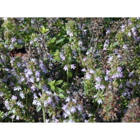 Serpolet tige fleurie 1 Kg POUDRE Thymus serpyllum