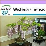 SAFLAX - Bonsai - Blauregen - 4 Samen - Wisteria sinensis