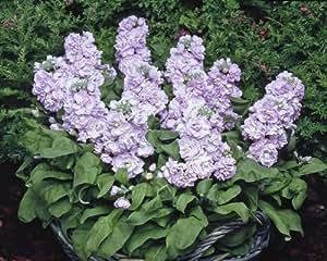 Just Seed - Flower - Stock - Matthiola incana - Cinderella Silver Blue - 250 Seeds - Large