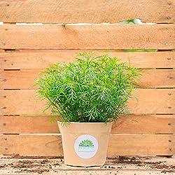 Lakritztagetes (Tagetes filifolia) - Die Blätter schmecken nach Lakritz, nur etwas süßer. Ideal auch um Liköre herzustellen