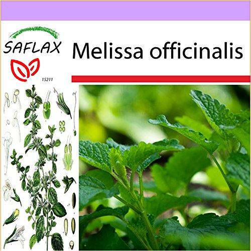 SAFLAX - Heilpflanzen - Zitronen - Melisse - 150 Samen - Melissa officinalis