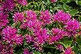 Sedum Spurium 'Summer Glory' 40 Samen